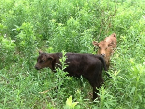 Two  Dexter Heifer Calves  Spring of 2012